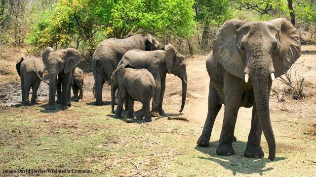 British soldier trampled to death by elephant while on anti-poaching patrol