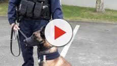 Nantes : Retraité, le chien policier Tyson en médaille un an après sa blessure