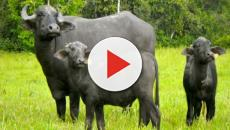 Un vídeo de Instagram muestra el sacrificio de una búfala para salvar a su cría