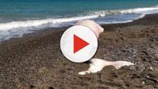 Palermo, sulla spiaggia capodoglio rosa morto con chili di plastica nello stomaco