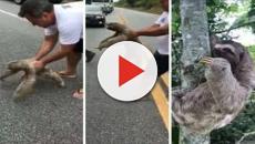 Un oso perezoso es salvado por un hombre que para el trafico y se muestra agradecido