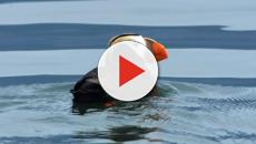 Climate Change: Bering Sea tufted puffins dying off