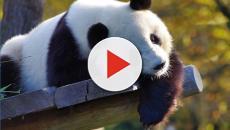 Moscow Zoo: Xi Jinping gifted Vladimir Putin Giant Pandas