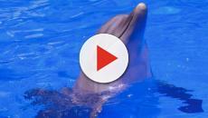 Una madre delfín transporta el cadáver de su cría durante días