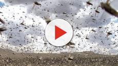 Sardegna, cavallette e corvi distruggono il raccolto: danni per molte aziende agricole
