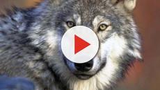 Siberia: scoperta testa di lupo gigante