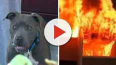 Una bebé fue salvada por un pitbull de un incendio en California