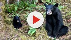 Una cría de oso tuvo que ser sacrificada por ser muy amigable con los humanos