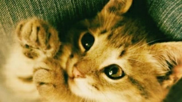 Cinq attitudes du chat expliqués à l'homme