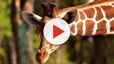 Giraffa a rischio estinzione, nell'ultimo trentennio sono diminuite del 40% in Africa