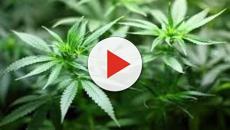 La légalisation du cannabis en France, ce n'est pas pour tout de suite