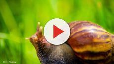 Customs and Border Protection seize two Giant African Snails in Georgia