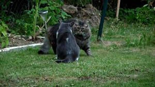 Les bagarres de chats totalement grotesques
