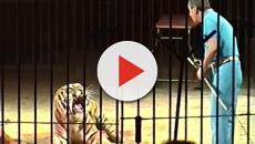 Ettore Weber, domatore ucciso da una tigre: la moglie chiede di non sopprimere il felino