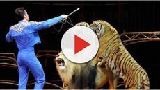 Bari, moglie del domatore ucciso dalla tigre lancia un appello: 'Sultan non va soppressa'