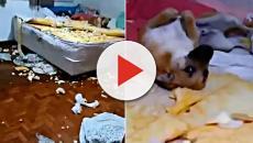 Mulher filma destruição feita por cachorro e animal cai nas graças da internet