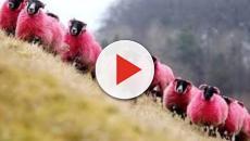 Por pintar de rosa unas ovejas, denuncian un festival de música en Gran Bretaña
