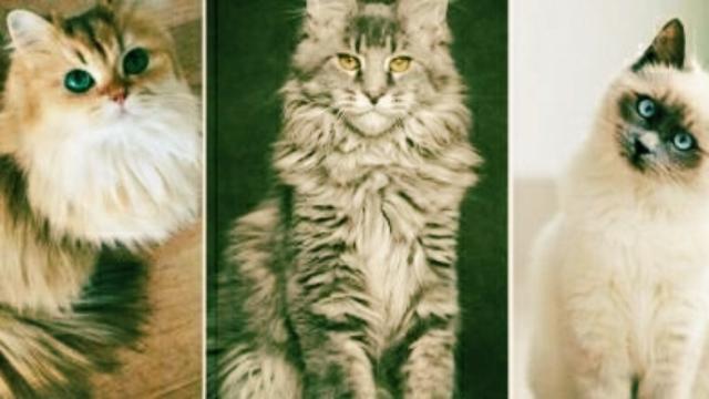 Animaux : le Top 5 des chats les plus chers du monde