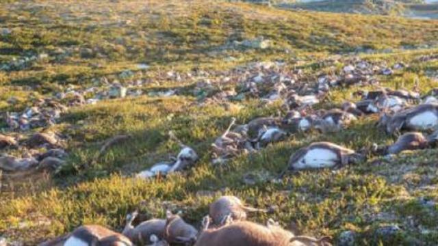 Norvegia: strage di renne, gli animali morti di fame per colpa delle alte temperature