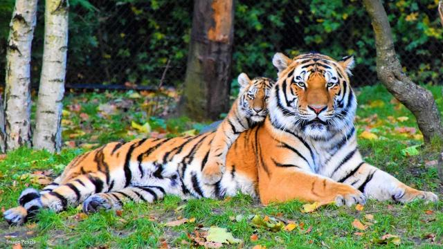 India's wild tiger population is up by 33 percent in latest census