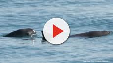 Vaquita porpoises are about to become extinct with few left in the wild