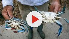 Salento: nel mar Adriatico i primi avvistamenti del granchio azzurro