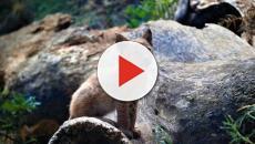 Ha hecho falta más de un siglo para el nacimiento de un lince boreal en el pirineo catalán