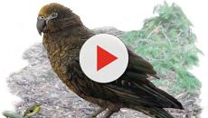 Nuova Zelanda: scoperto pappagallo gigante del primo Miocene