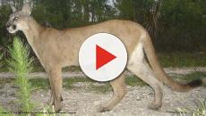 Florida Panthers stricken with mysterious walking disorder