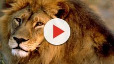 Il Re Leone, il WWF lancia l'allarme: 'tra 25 anni potremmo non avere un Simba'