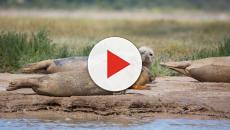 More harbour seals being born in the River Thames