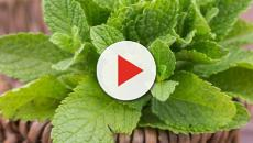 Cinco beneficios de la hierbabuena para tu salud