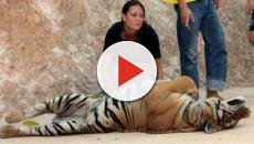 Half of the 147 Tigers rescued from a Thai Temple have died