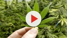 Alghero, smantellata piantagione di marijuana: 75 piante per oltre 35 chili di droga