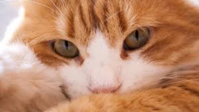 Ce qui fait qu'un chat miaule très fort