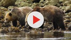 Canada's Grizzly Bears falling victim to climate change
