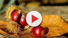 Castagne ricette e benefici: ideale per i dolci come il Molteblanc e lo strudel