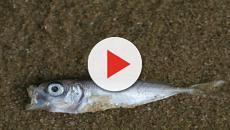 La justicia investiga la aparición de peces muertos en el Mar Menor