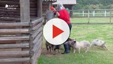 Andréa Nóbrega passa apuros ao cuidar de porcos em A Fazenda