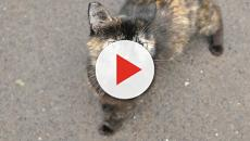 Senior tortoiseshell cat named Kurin for adoption