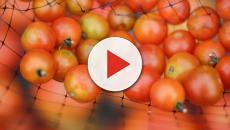 El tomate es mejor conservarlo a temperatura ambiente y no pelarlo al consumirlo