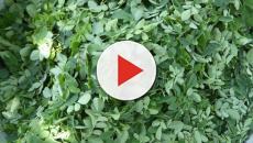 La moringa es una planta tropical curativa y llena de beneficios