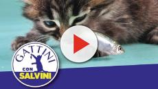 Gattini con Salvini, guerra social sul micio mangia-sardine: 'Mangia e dorme come lui'