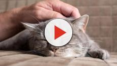 Les raisons pour lesquelles un chat lèche son maître