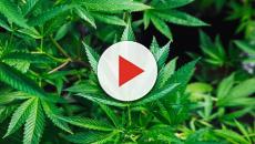 Anvisa aprova regras para regulamentação de medicação baseado em cannabis
