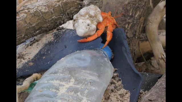 Plastic pollution has killed half a million hermit crabs, study says