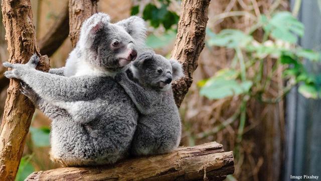 Australian bushfires may have destroyed 30 percent of koala bears and their habitat