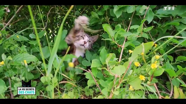 Le chat et son 'quart d'heure de folie', un manque d'affection