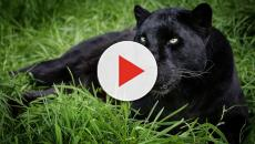 San Severo: una pantera si aggirerebbe per le campagne