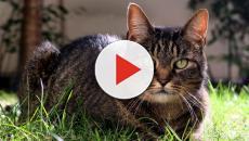 Votre chat communiquerait avec vous en vous léchant partout